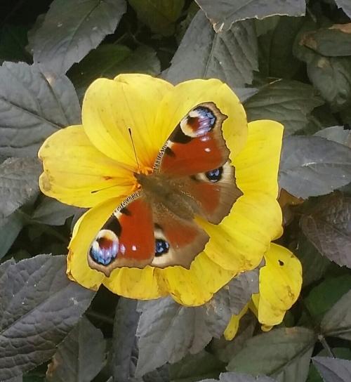 Butterfly_bloom